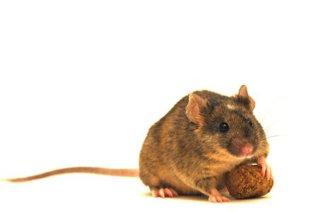 Avy mice. epigenetics