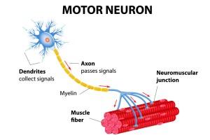 A Motor Neuron