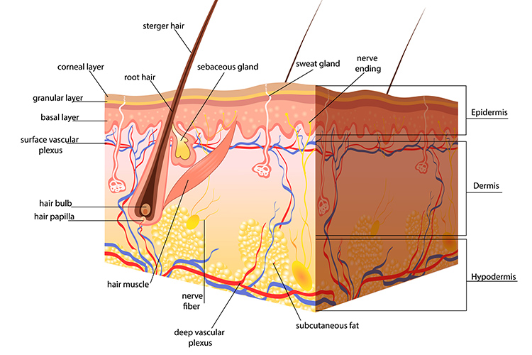 The Structure of the Skin understanding skin