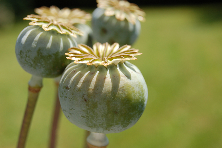 Codeine and morphine obtained from the poppy plant, Papaver somniferum