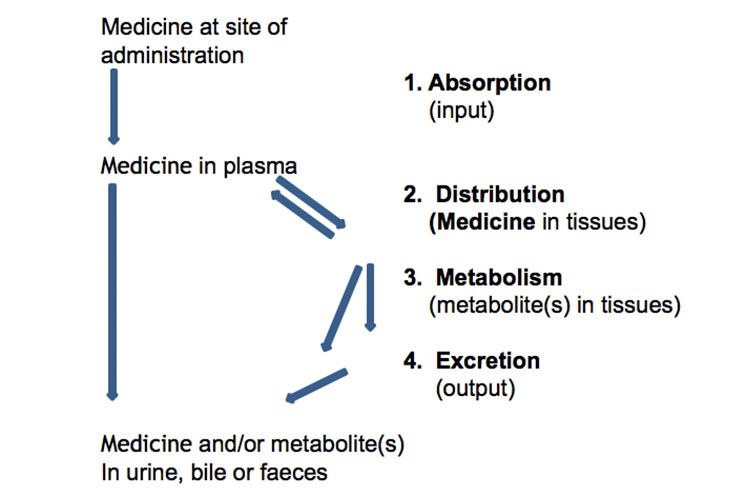 Absorption, Distribution, Metabolism and Excretion. Pharmacokinetics and Pharmacodynamics - Medicines and the Body