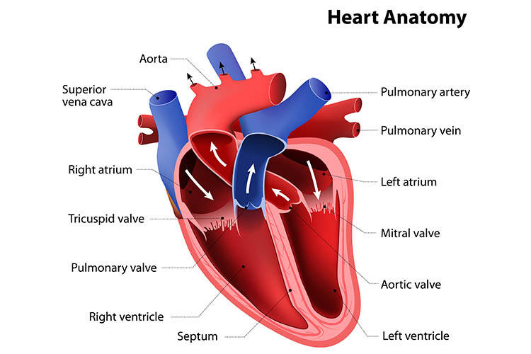 heart murmur and heart sounds anatomy