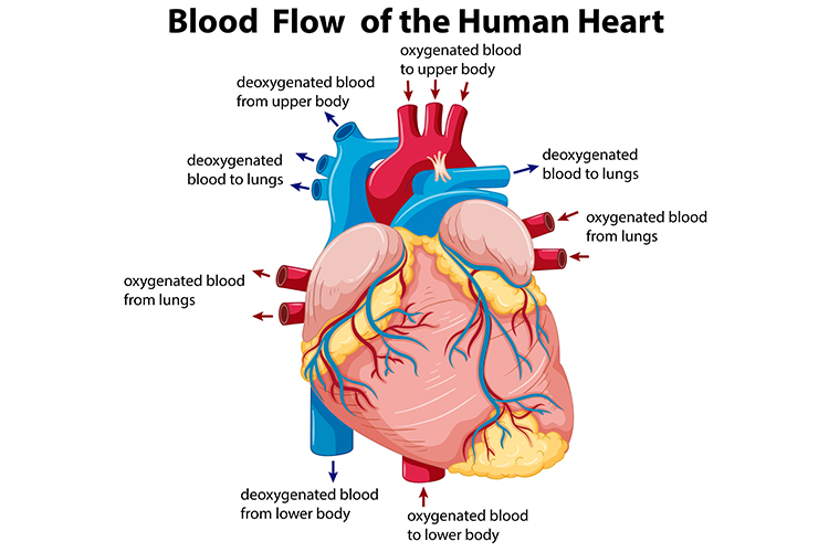 Types of Congestive Heart Failure - No Single Beast - Ausmed blood flow of the human heart