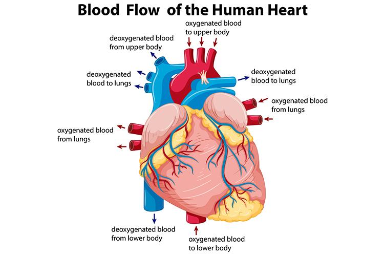 congestive heart failure blood flow of the human heart