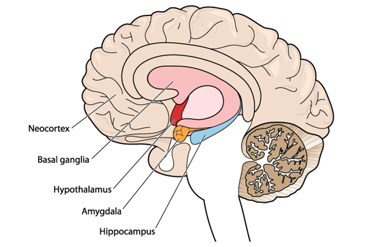 Retraining the Amygdala - Neuroplasticity to Retrain the Amygdala Brain