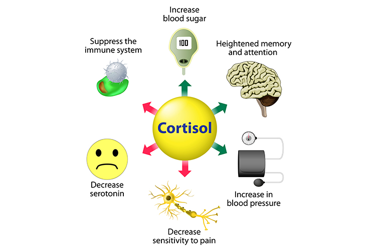 Cortisol Production and Use by the Body - Cortisol and Stress