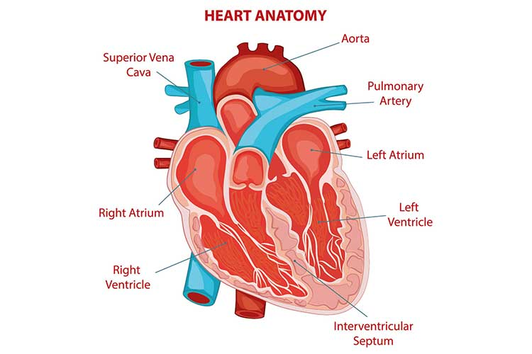 Heart anatomy | Image